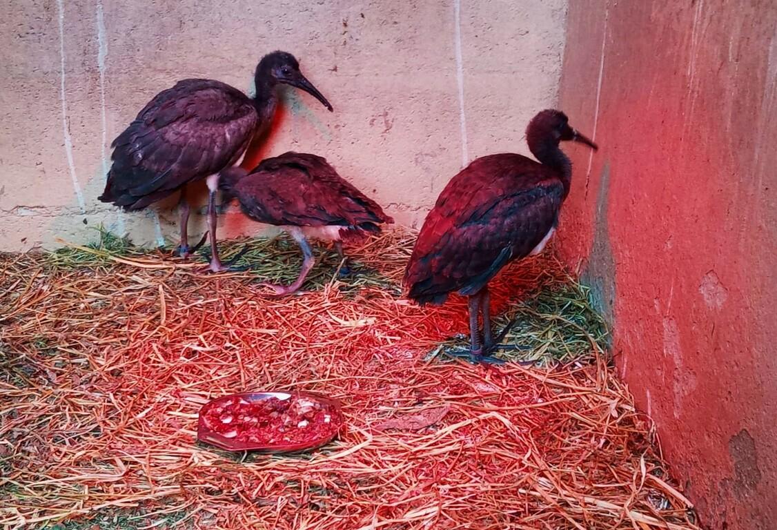 Ibis escarlatas. Nuevos nacimientos en Zoo