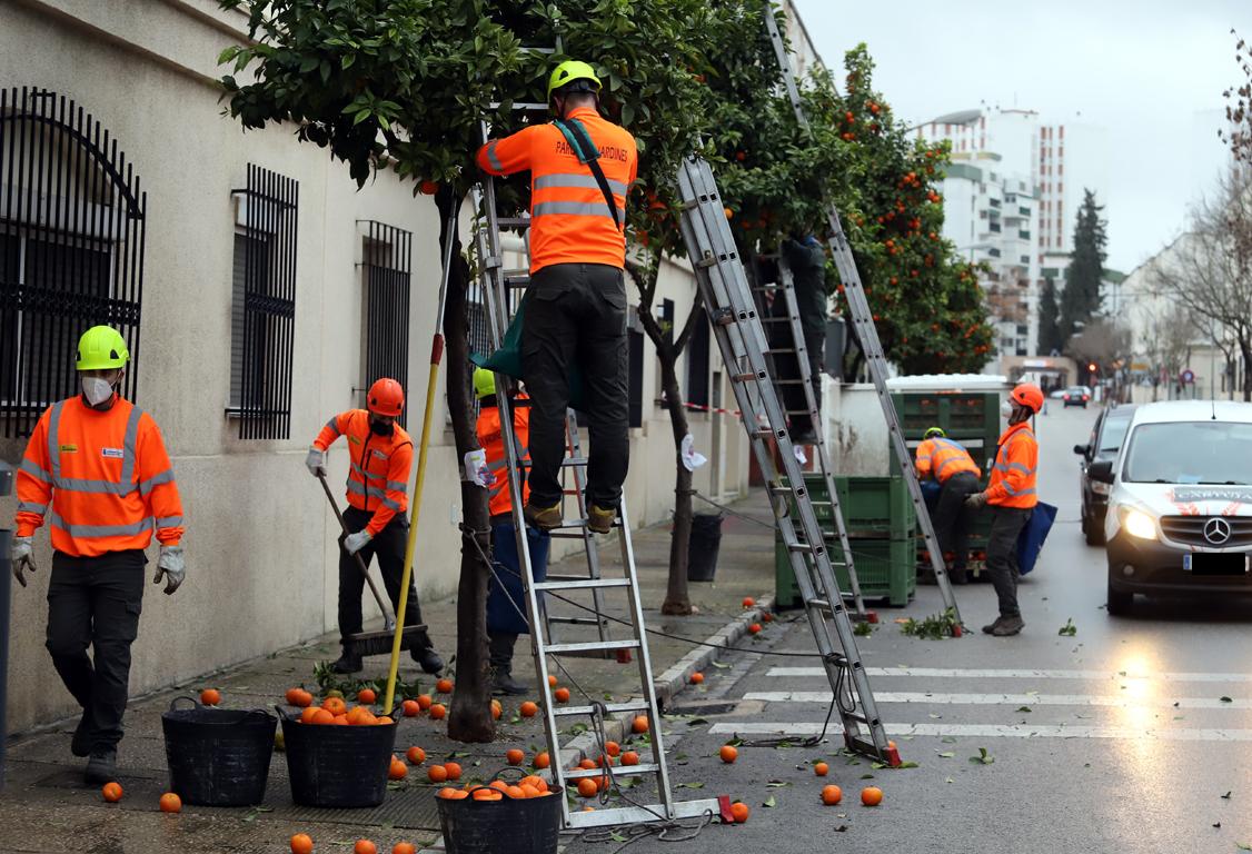 programación recogida de naranjas